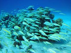 group of coral fish  in water. - stock photo