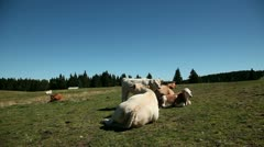 Cows resting while woman is jogging on a tableland with special climate Stock Footage