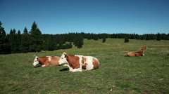 Cows resting on a tableland with a speacial climate Stock Footage