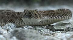 Rattlesnake Slithers Sideways Slow - stock footage