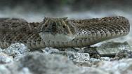Stock Video Footage of Rattlesnake Slithers Sideways Slow