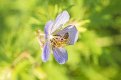 Stock Photo of bee on geranium