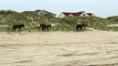 Wild horses walk and graze dunes outer banks nc Stock Footage
