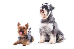 two obedient dogs sitting to command - stock photo