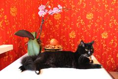 black cat in the room with red wallpaper - stock photo