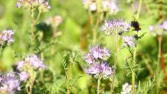 Bumblebee and Phacelia Flower Stock Footage