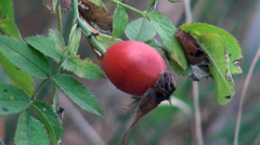 Rose hips are growing on a green bush in the mountains of the north of France Stock Footage