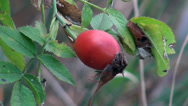 Stock Video Footage of Rose hips are growing on a green bush in the mountains of the north of France