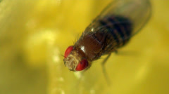 Housefly musca macro Stock Footage