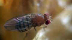 Housefly musca macro - stock footage