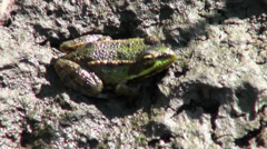 Small green frog sitting on a rock Stock Footage