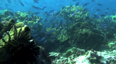 Fast moving shoal of fusiliers - HD Stock Footage