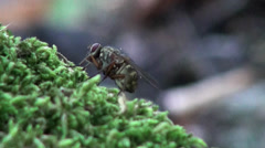 Head horsefly macro Stock Footage