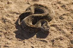 High angle view of coiled snake in sand Stock Photos