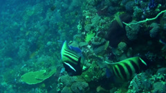 Six banded angelfish - HD Stock Footage