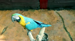 Beautiful, colorful and funny parrot filmed from above Stock Footage