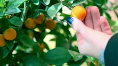 Looking at mandarins on small tree Stock Footage