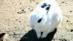 Big white rabit with dark eyes Stock Footage