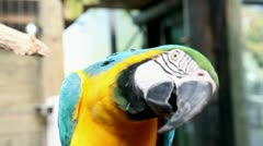 Beautiful, colorful parrot making funny moves towards camera Stock Footage