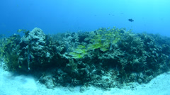 School of grunts and snapper in shallow reef Stock Footage