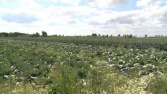 Cabbage in the field - HD Stock Footage