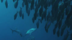 Bluefin trevally hunting a shoal of fusiliers - HD Stock Footage