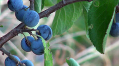 Blackthorn berries grow mountains of southern France in the autumn Stock Footage