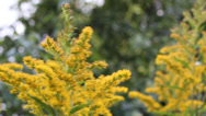 Stock Video Footage of Bright Yellow Goldenrod