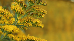 Bright Yellow Goldenrod Stock Footage