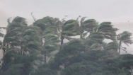 Stock Video Footage of Extreme Hurricane Winds Lash Palm Trees