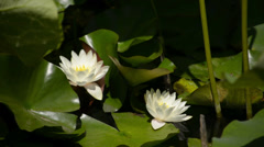 Lotus LM12 Japanese Garden White Lily Stock Footage