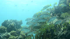 School of grunts and snapper in shallow reef - stock footage