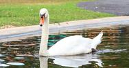 Stock Photo of mute swan on water