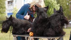 Three Scottish Terrier before the show Stock Footage