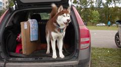 Alaskan malamute in car Stock Footage