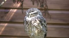 Owl in a wildlife park medium shot Stock Footage