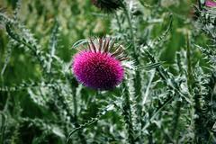 Thistle in Scotland Stock Photos