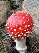 Fly agaric / Amanita Muscaria in swedish forest Stock Photos