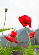 red opium poppy flower - stock photo