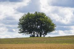 Group of trees in the middle of the field. - stock photo