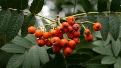 Rowan berries - camera move. Stock Footage