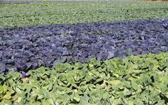 USA, New York, Peconic, cabbage farm Stock Photos