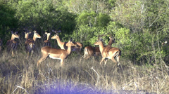 African animals - impala running 2 Stock Footage