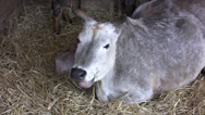Stock Video Footage of Cow sitting and chewing hay