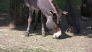 Stock Video Footage of Miniature donkey chewing grass in a field. Medium close up