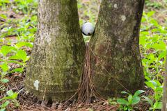golf ball stuck between two palm trees - stock photo