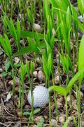 golf ball stuck in palm seedlings - stock photo