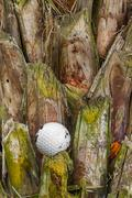 golf ball stuck on palm tree - stock photo