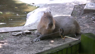 Stock Video Footage of Capybara in a nature reserve long shot