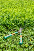 trimming shrubs scissors - stock photo